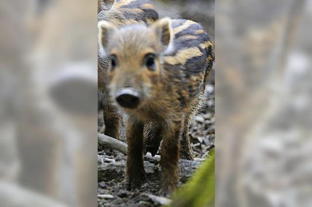 Radioaktive Wildschweine