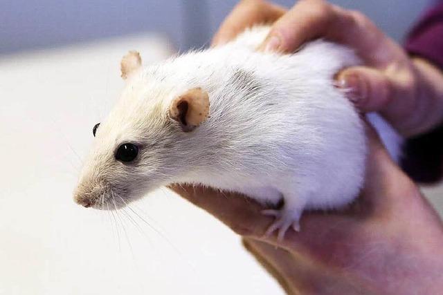 Rattenexperiment endet frühzeitig – Tier an Behörden übergeben