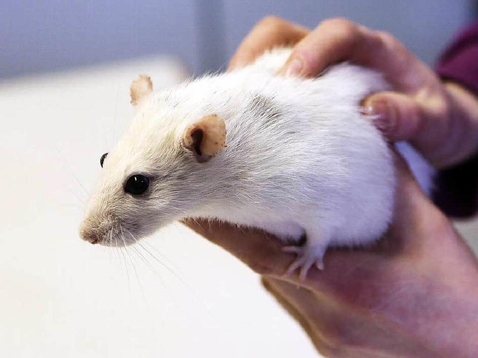 Eine Ratte wie das Tier auf unserem Sy...genommen werden – per Mausklick.  | Foto: Christoph Breithaupt
