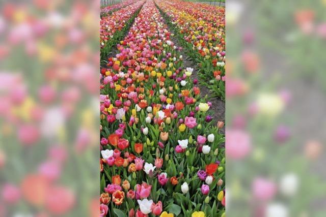 Tulpen! Überall Tulpen!