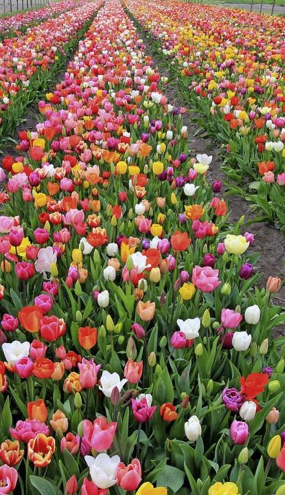 Für Selbstpflücker:  200000 Tulpen  au...umenzwiebeln am Amsterdamer Münzturm.     Foto: dpa
