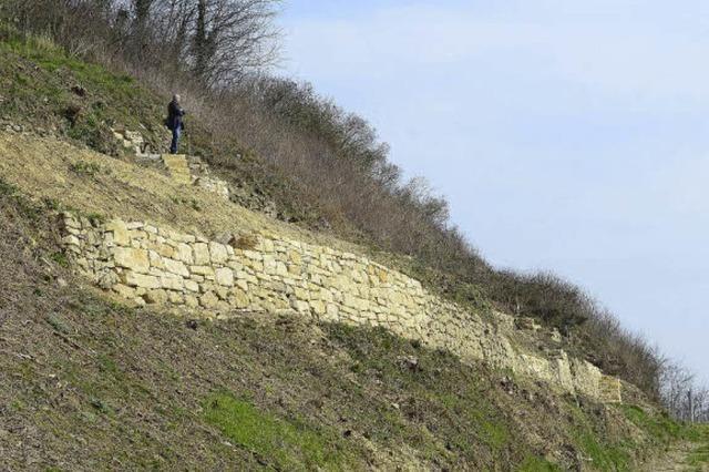Smaragdeidechse fühlt sich in den restaurierten Munzinger Trockenmauern wohl