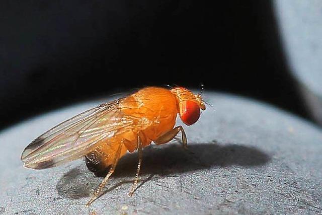 Winzer sollen Insektizide gegen Kirschessigfliege einsetzen
