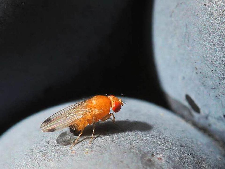 Männliche  Kirschessigfliege wie diese...e Beeren und legen darin ihre Eier ab.  | Foto: dpa