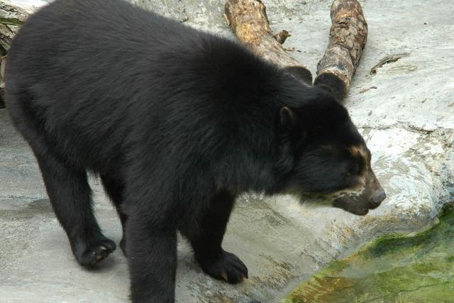 Wie in Waldkirch vor 50 Jahren ein Bär gejagt wurde