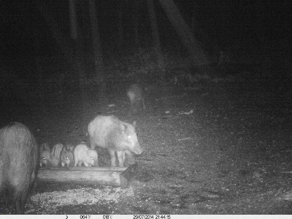 Armin Liese lichtete so eine Wildschweinfamilie ab.  | Foto: Armin Liese