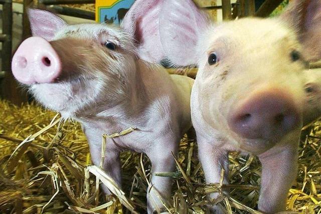Auf dem Baldenwegerhof bei Stegen können Stadtkinder Schweine schrubben