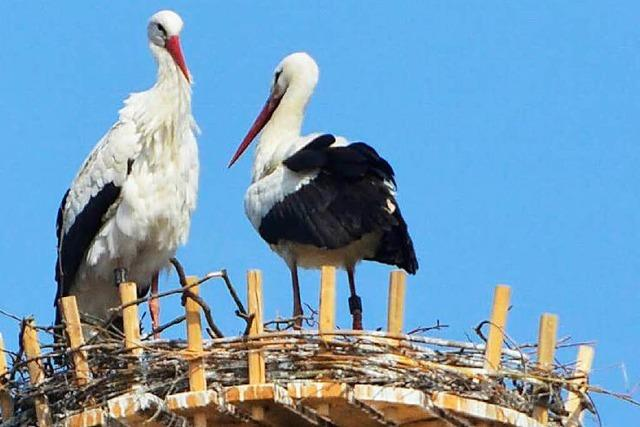 Offenburger Storchenpaar: Susi und Hansi wieder vereint