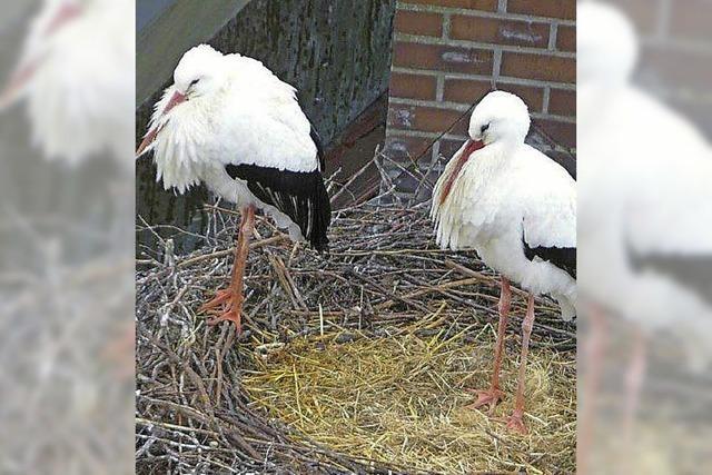 Störche richten ihre Nester ein