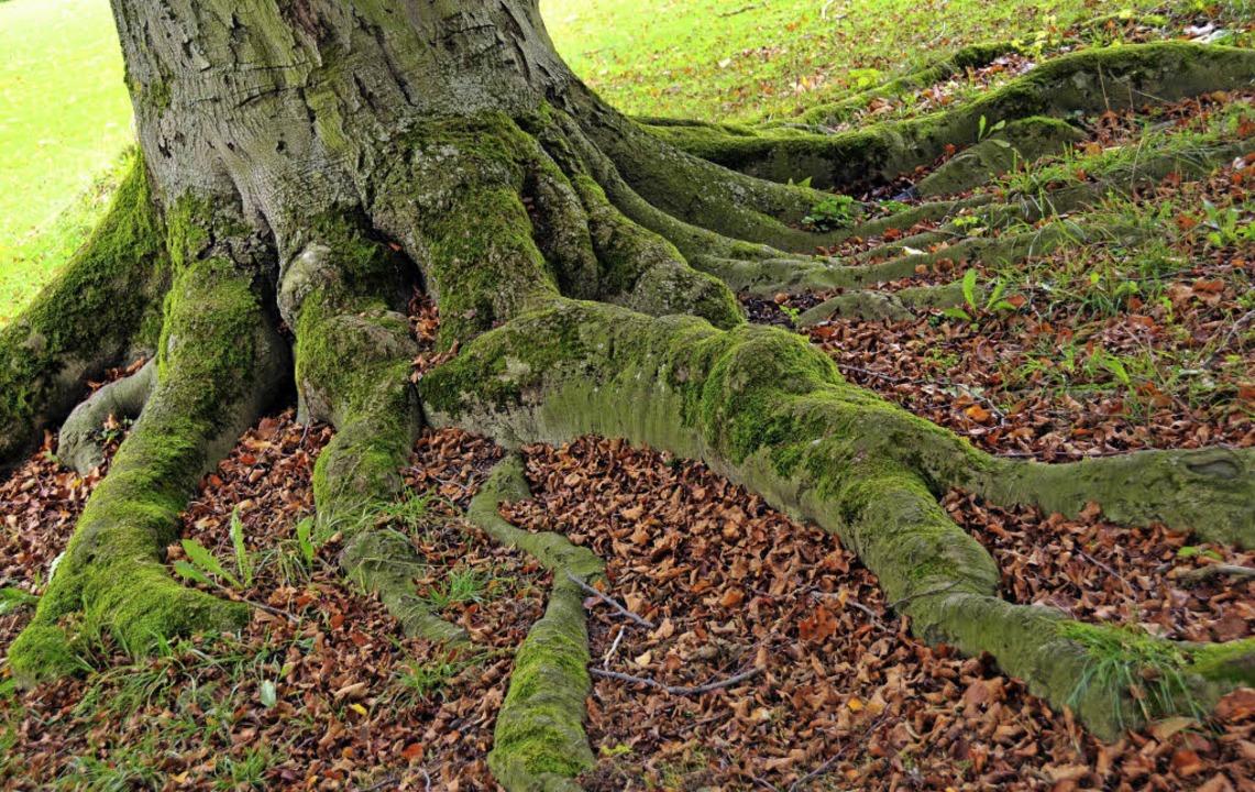 Ein Baum ist kein Individuum, sondern ein Verbund von Einheiten.     Foto: dpa
