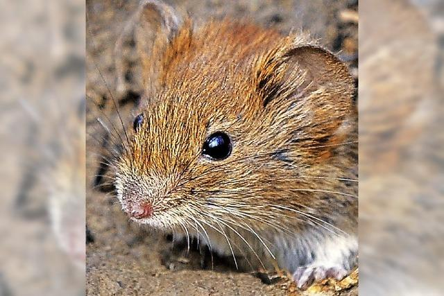 Mäusemännchen locken Weibchen mit Gesang an