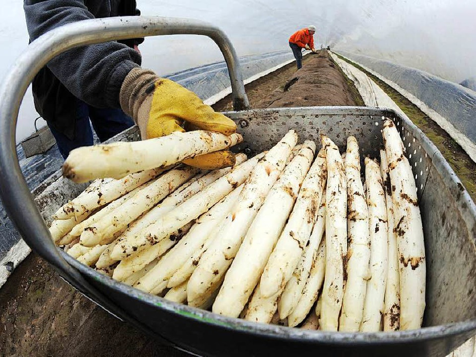 Spargel wird von Kochfans als essbares Elfenbein bezeichnet.  | Foto: dpa