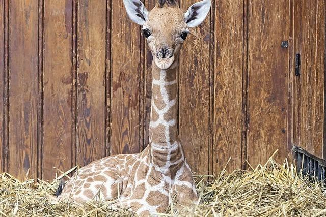 Ein stolze 1,80 Meter großes Baby
