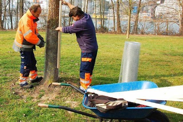 Junge Bäume müssen mit Draht vor Bibern geschützt werden