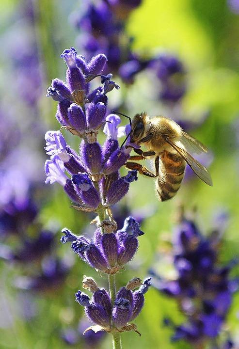 Die Biene, das (un)bekannte Wesen. Bei...ein Gefühl für die Bienen entwickeln.     Foto: Sebastian Heilemann