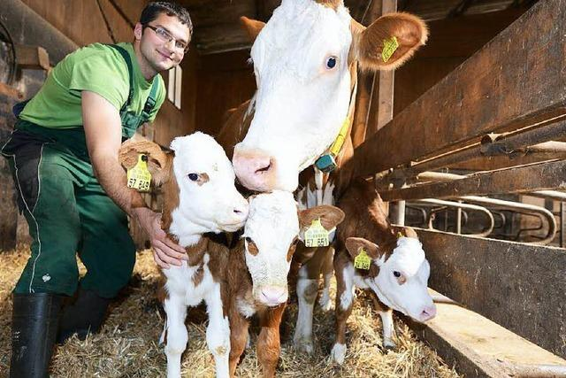 Kleine Sensation in der Ortenau: Kuh bringt Drillinge zur Welt