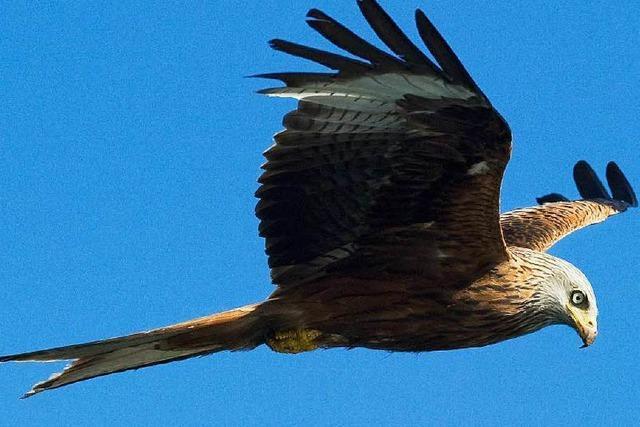 Streit um Windkraft – und die Rolle geschützter Raubvögel