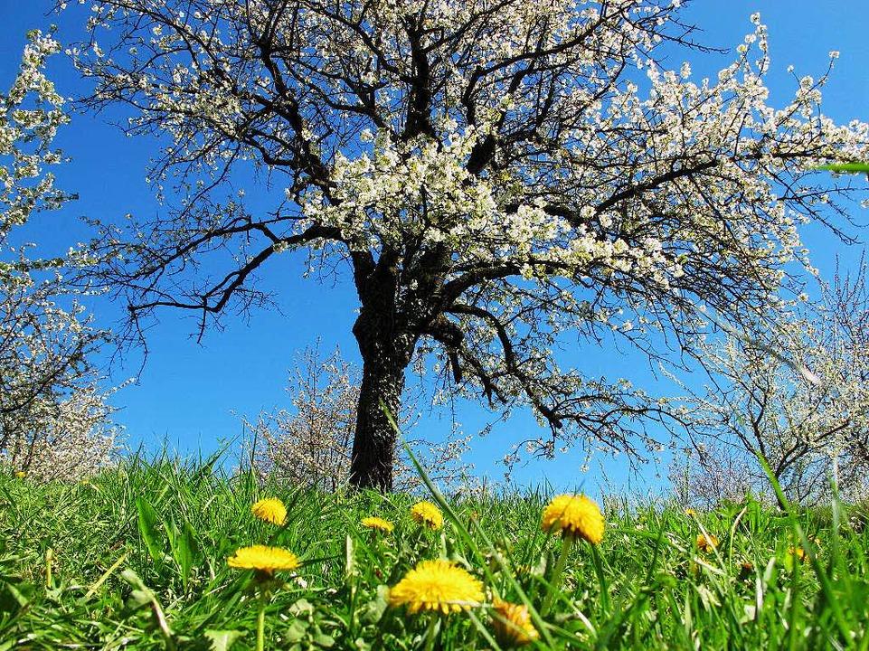 Kirschblüte im Eggenertal    Foto: Jutta Schütz