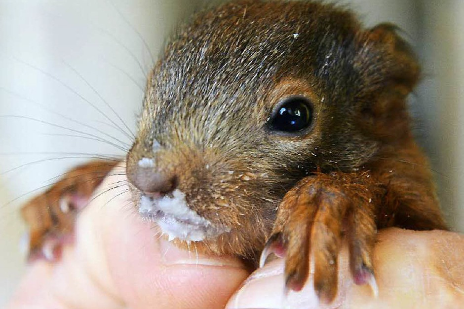 Geschwächte Eichhörnchenbabys werden wieder aufgepäppelt. (Foto: Ingo Schneider)