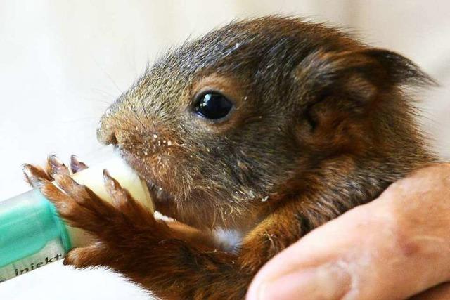 Eichhörnchen-Mama braucht Hilfe