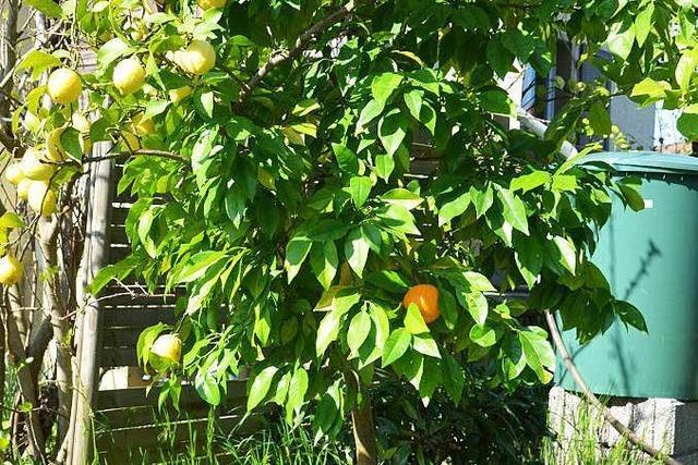 Überraschung in Buggingen: Was macht eine Orange am Zitronenbäumchen?