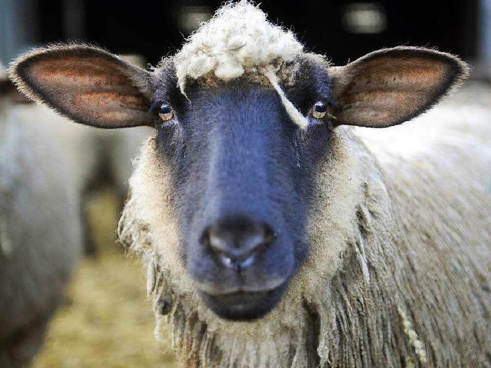 Schafe sind in Dänemark künftig nur noch legales Sexobjekt anderer Schafe.   | Foto: dpa