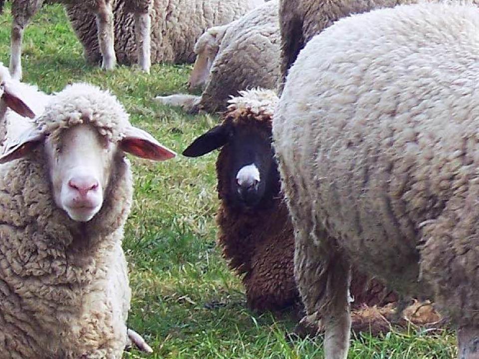 Ein totes Schaf mit einer großen Bissw...Dorfrand von Fußbach gefunden worden.   | Foto: Hubert Röderer