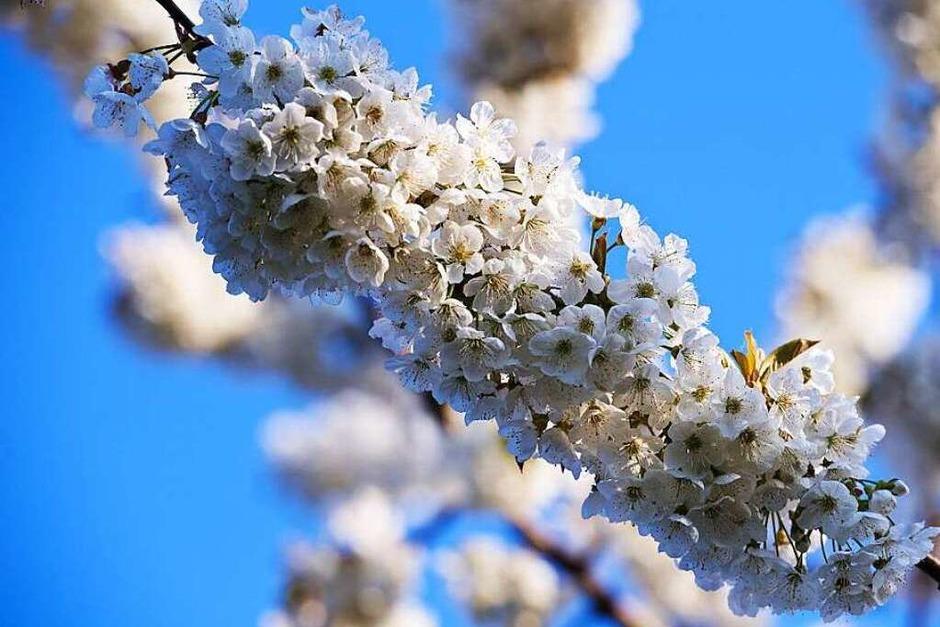 So schön ist die Kirschblüte im Eggenertal (Foto: Miroslav Dakov)