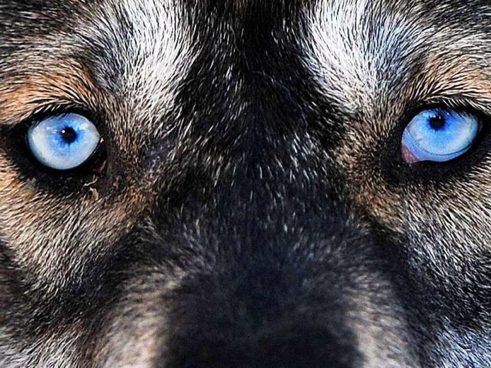 Wann kommt der Wolf?  | Foto: dpa