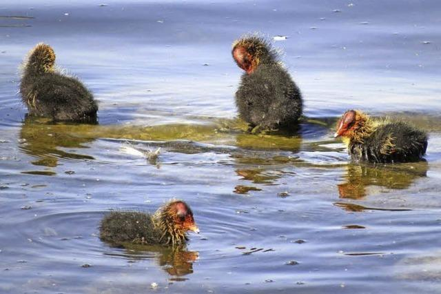 Blässhuhn-Nachwuchs am Flückigersee