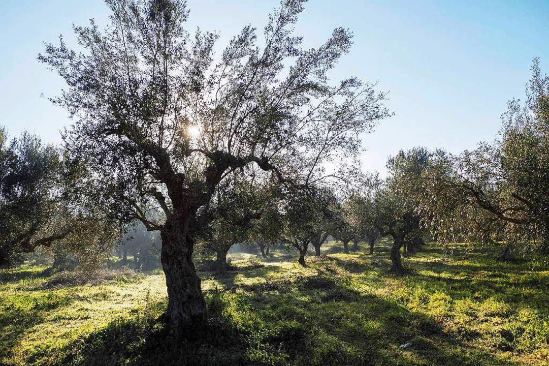 Olivenhain auf dem Peloponnes  | Foto: Martin Egbert