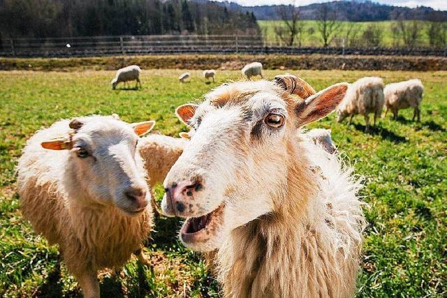 Schweizerische Bundesbahn stellt Schafe zum Rasenmähen an