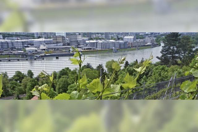 Grenzacher Hornfelsenwein: Winzerfamilie setzt auf Ertragsreduzierung und Qualität