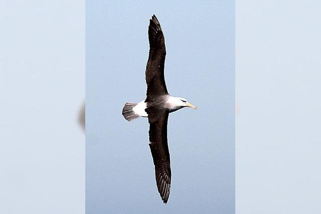 Ein Albatros ist auf Helgoland gesichtet worden
