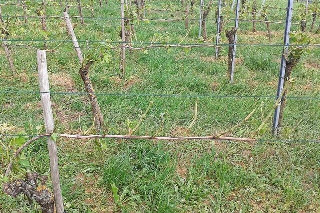Hagelschäden an Kaiserstuhl und Tuniberg treffen Weinbau und Obstkulturen hart