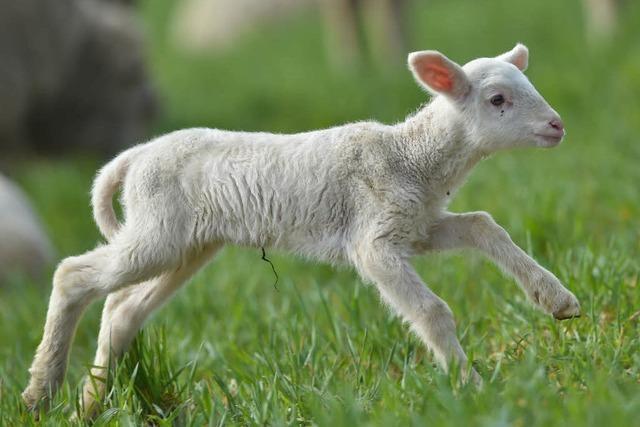 Fünf Monate altes Lamm gestohlen
