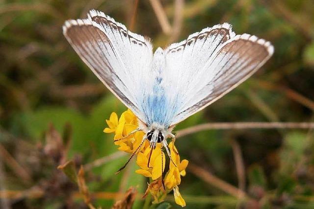 Insekt des Jahres kommt im warmen Südwesten oft vor