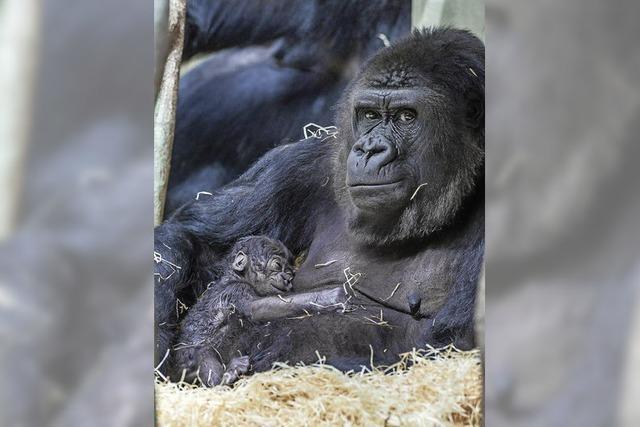 Gorilla-Baby im Basler Zoo