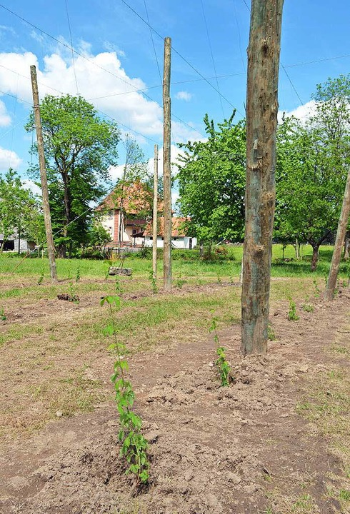 So sieht es im Ganter-Hopfengarten nach dem Pflanzen aus...  | Foto: Gerd Lück