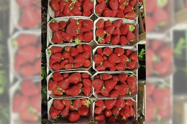 Erdbeerbauern in großen Nöten