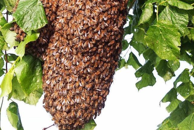 Imker fangen riesigen Bienenschwarm in Wutach-Ewattingen ein