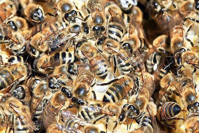 Amerikanische Faulbrut: Seuche bedroht Bienen bei Waldshut