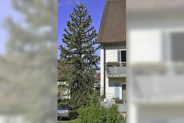 Ein Baum, der Affen Kopfzerbrechen bereitet