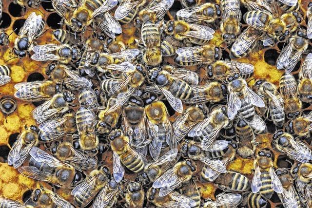 Der Bacillus larvae tötet Bienen