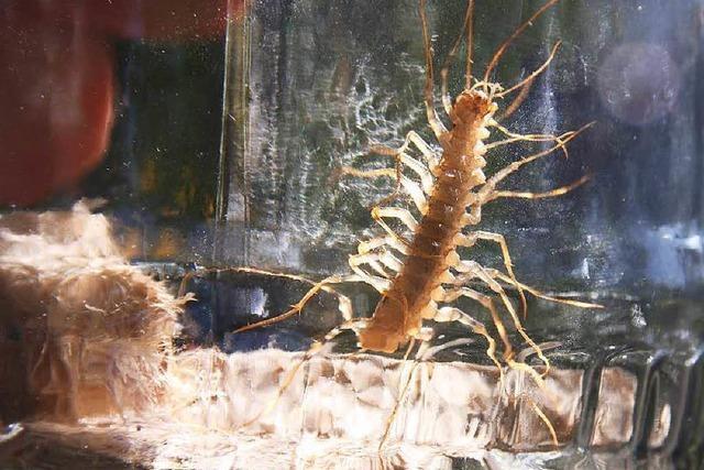 Wie im Horrorfilm: Spinnenläufer sind in Südbaden heimisch geworden
