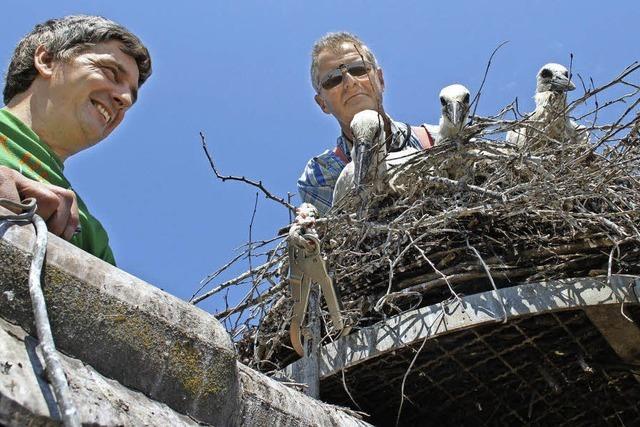 Ringe für die drei Storchenbabys auf dem Kirchturm