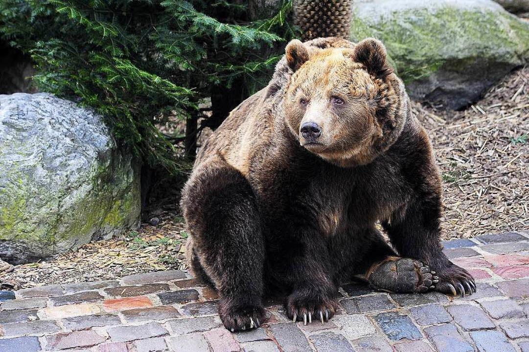 Braunbär Joschi ist tot. Er wurde 29 Jahre alt.  | Foto: Thomas Kunz