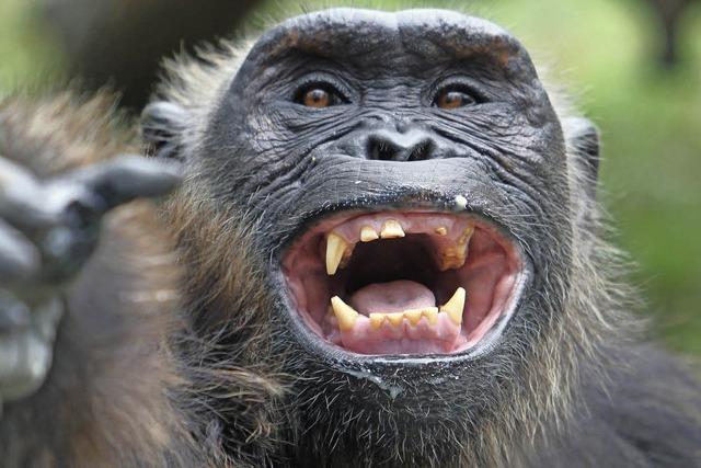 Da lacht der Schimpanse