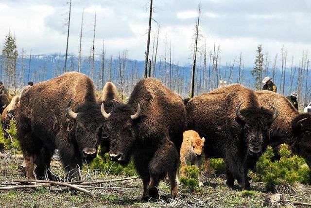 Streit um die Bisons im Yellowstone-Nationalpark