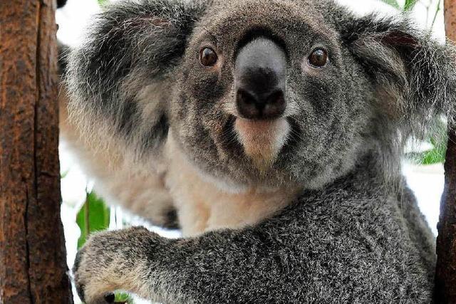 Zu viele Koalas: Die knuddeligste Plage der Welt